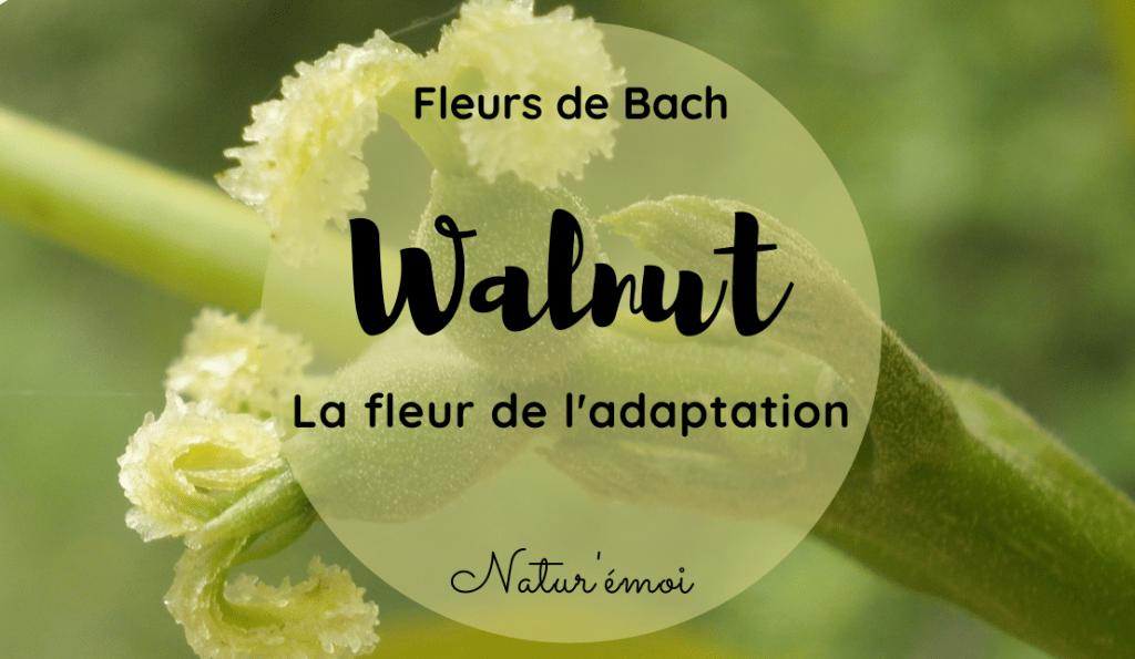 Walnut, extraordinaire fleur de l'adaptation 1